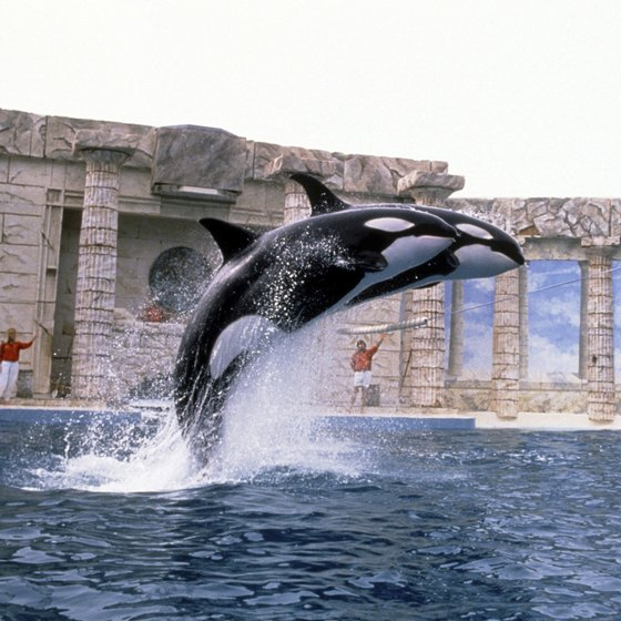 The killer whale show is one of the most popular at SeaWorld Orlando.