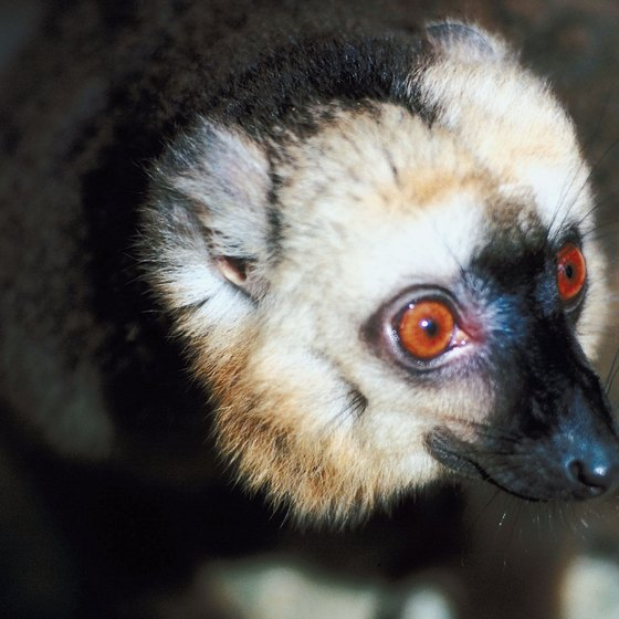 Lemurs are endemic to the island of Madagascar.