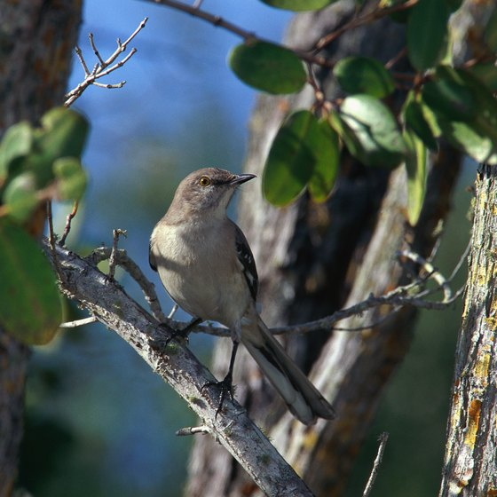 The mockingbird is Tennessee's official state bird.