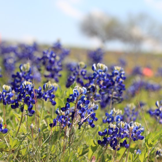 Bluebonnets, the Texas state flower, are plentiful in the Chappell Hill area in early April.