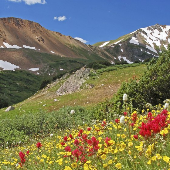 Vibrant wildflowers herald the arrival of summer in Colorado's mountains.