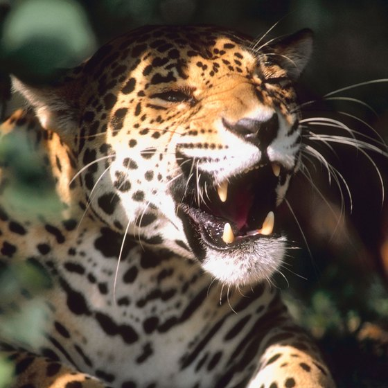 Sightings of the endangered jaguar that lives in the Mexican jungle are rare.
