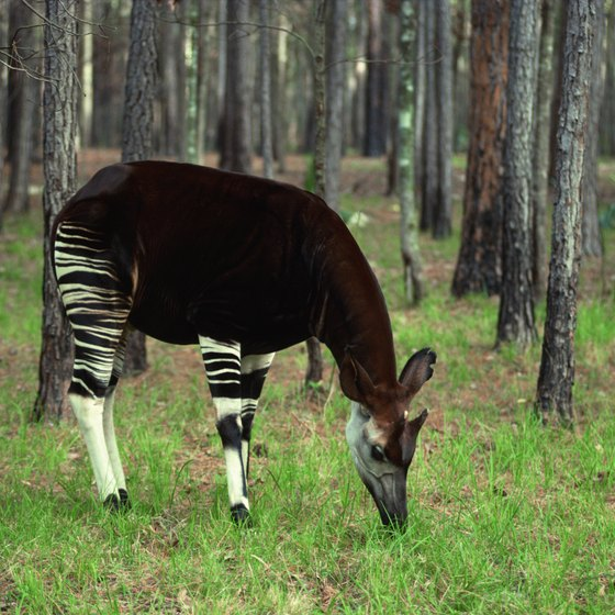 The okapi, a relative of the giraffe, inhabits the Congo Basin rain forest.