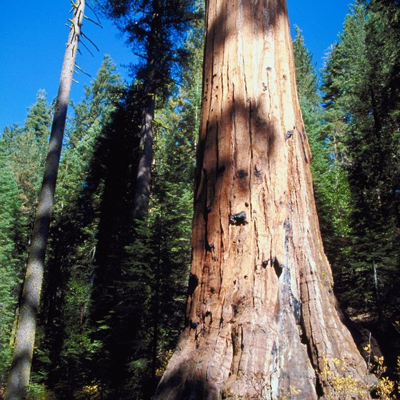 Coastal redwood trees are among the largest living things on Earth.