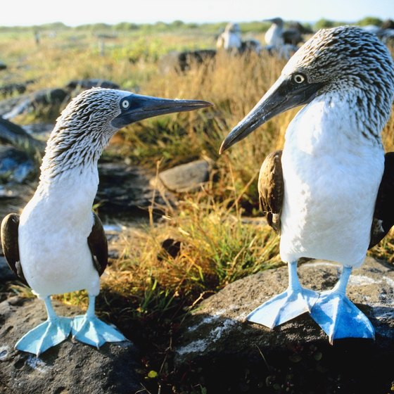 The Galapagos are home to the blue-footed booby.