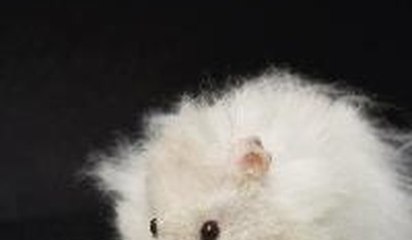 Baby Teddy Bear Hamster Facts