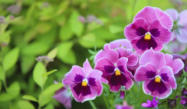 Are Carnations or Pansies Poisonous to Cats?