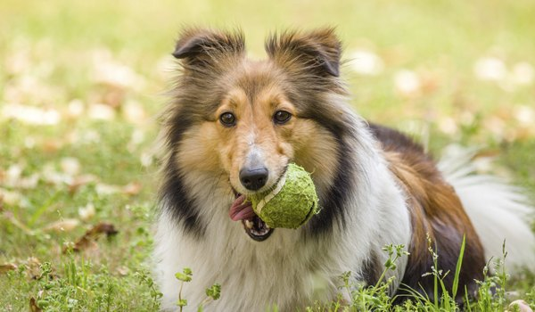 Skin Disorders of Shetland Sheepdogs