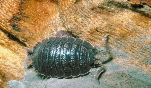 Background Information on Pill Bugs