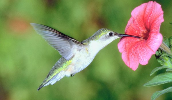 How Big Can a Hummingbird Grow?