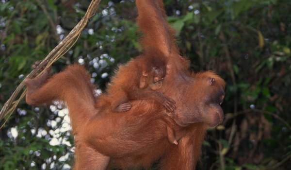 What Do Baby Orangutans Look Like?