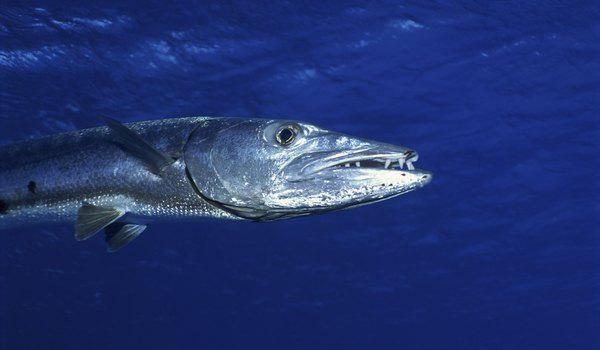 Barracuda Facts
