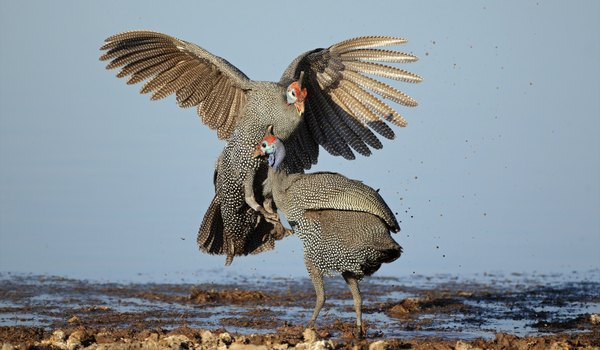 How to Determine the Sex of a Guinea Fowl