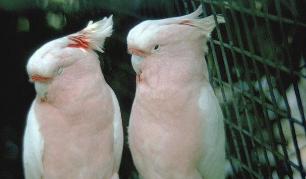 Behavior of the Moluccan Cockatoo