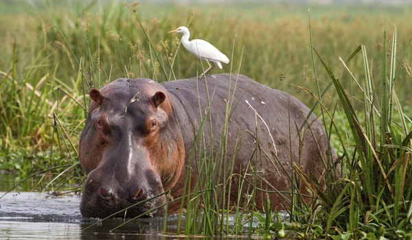 What Is a Hippo's Diet?