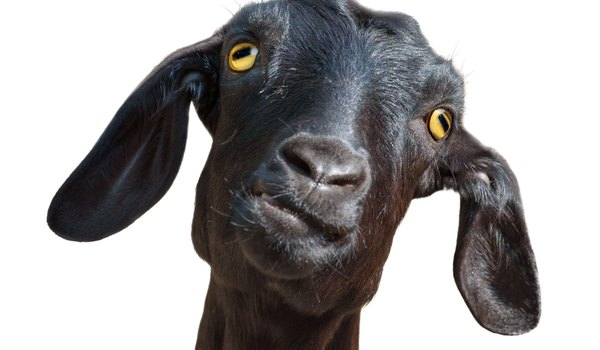 Goat Urinary Tract Infection