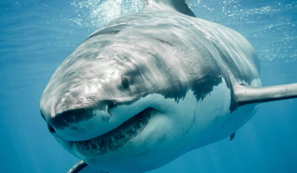 Great White Shark Teeth Facts