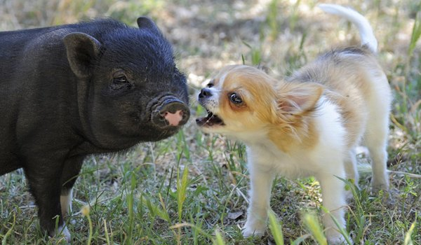 Can Pot Bellied Pigs Get Along With Dogs?