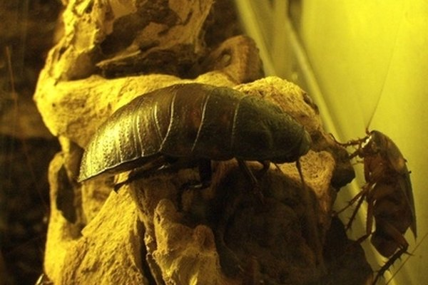 how to get rid of german roaches in a car