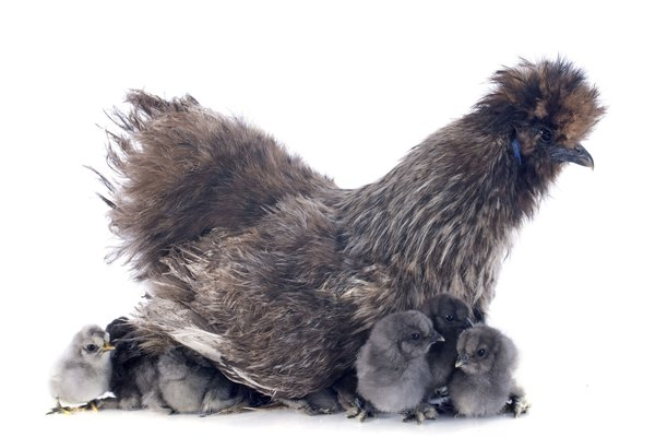 young Silkie