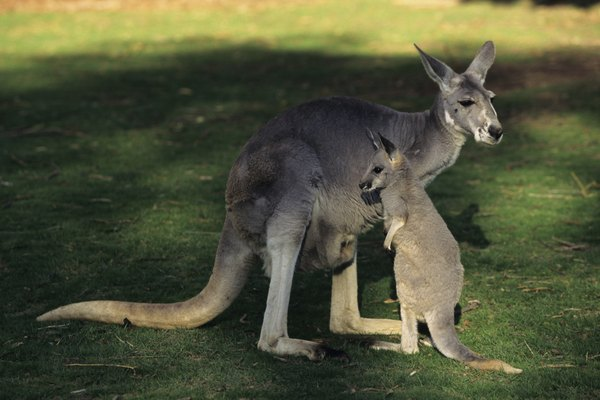 Red kangaroo (Macropus rufus) mother with joey