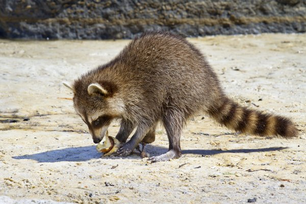 Raccoon eating fruit.