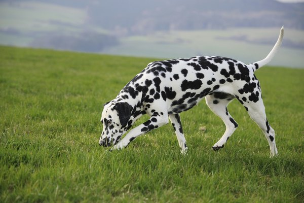 Dalmatian Dog sniffing in the meadow