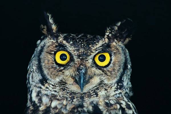 Spotted Eagle Owl (Bubo Africanus), Natal, South Africa