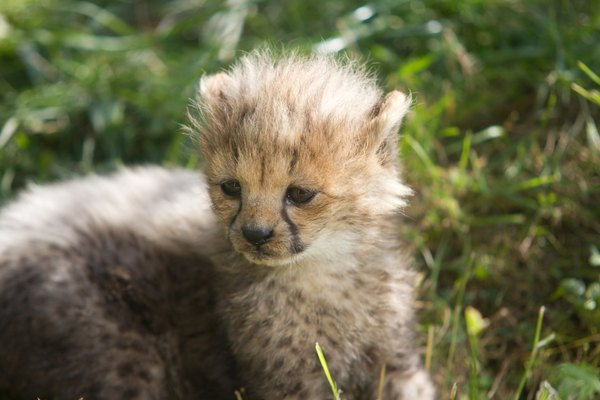 Close up of a baby cheetah