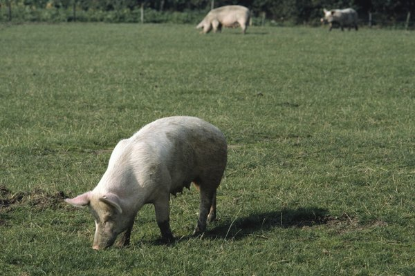 Three pigs grazing in pasture, Holland