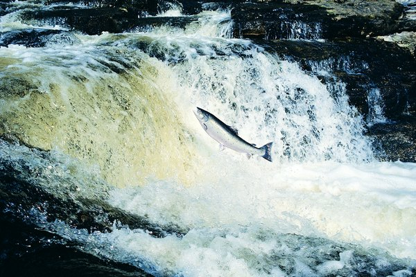 Salmon Leaping, River Tay, Scotland, UK