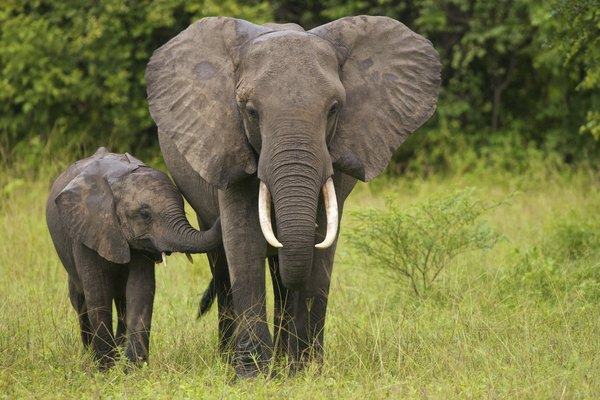 Elephant mother and young