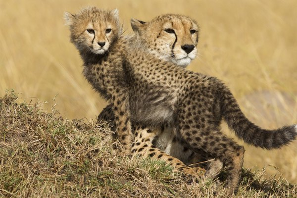 Cheetah mother with cub, Masai Mara