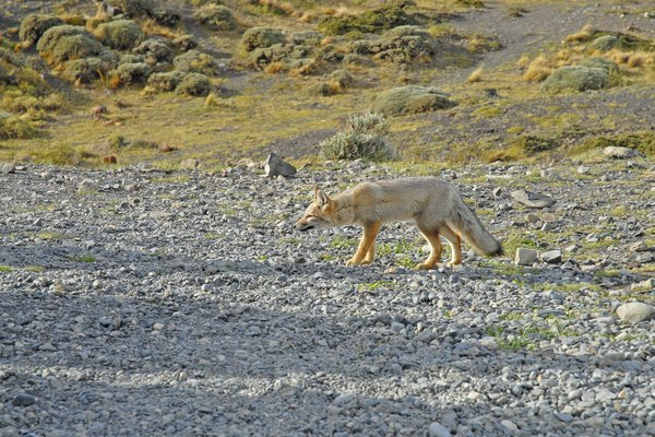 Fox in Patagonia, Chile