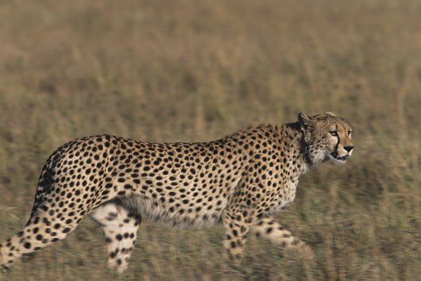 Cheetah (Acinonyx jubatus), hunting on savannah, Kenya