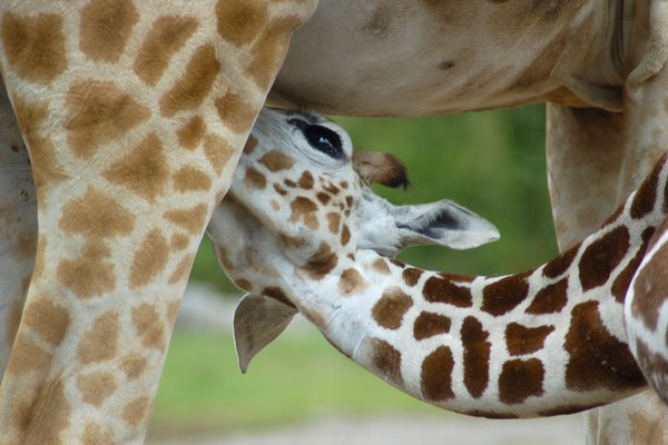 Young Giraffe feeding from mother, Chester Zoo