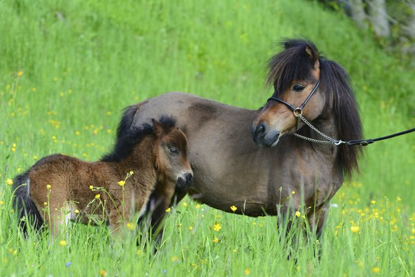 Miniature horse with a foal