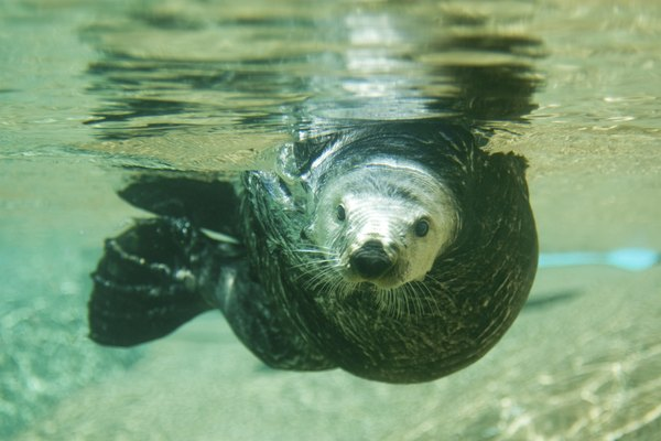 Sea Otter swimming right at the camera
