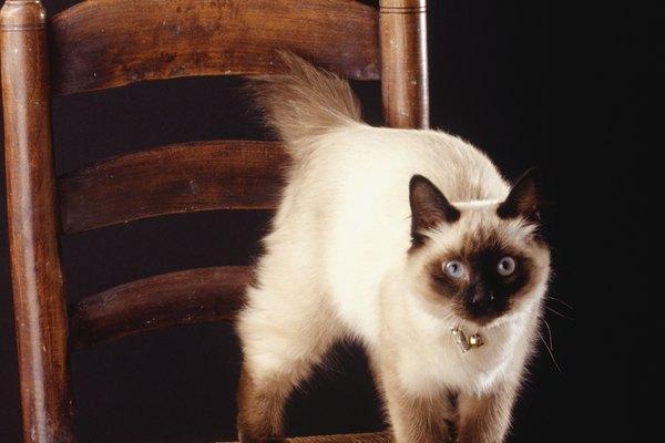 Siamese Cat Habitats Animals Mom Me