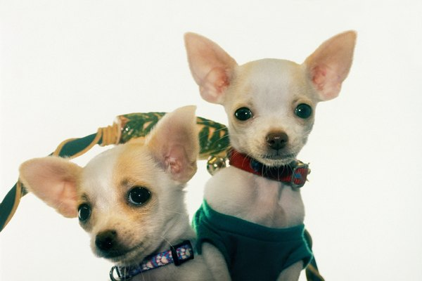 Chihuahua puppies with decorative collars and dog clothes