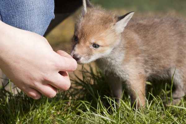 Red Fox kit in Surrey, England