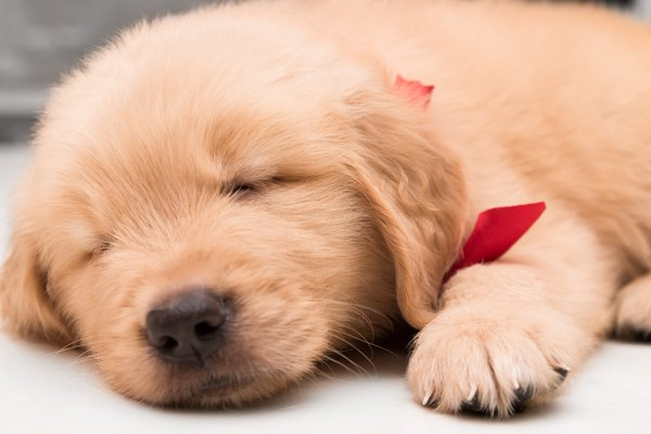 Close-up sleeping face of one month old golden retriever puppy
