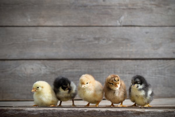 Five chicks standing on wooden background