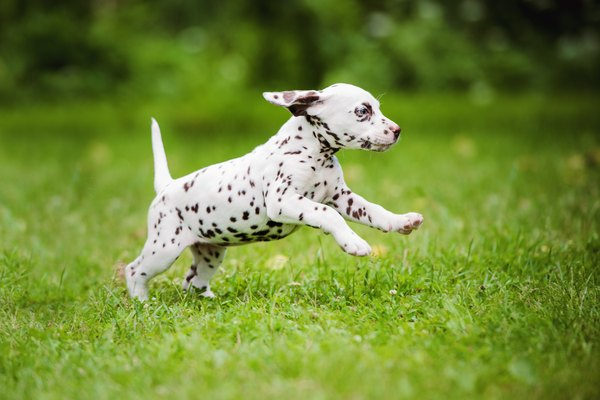 dalmatian puppy running outdoors