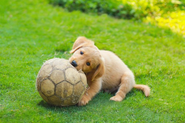 Cute Golden Retriever Puppy with a soccer ball.