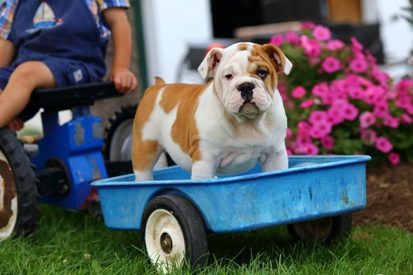 English Bulldog Puppy Standing on Toy Trailer