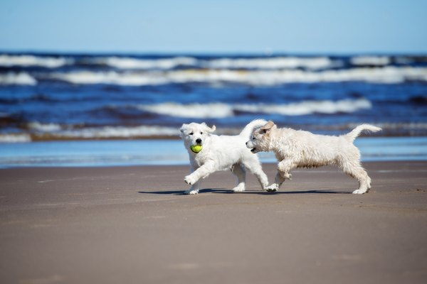 two golden retriever puppies playing on a beach