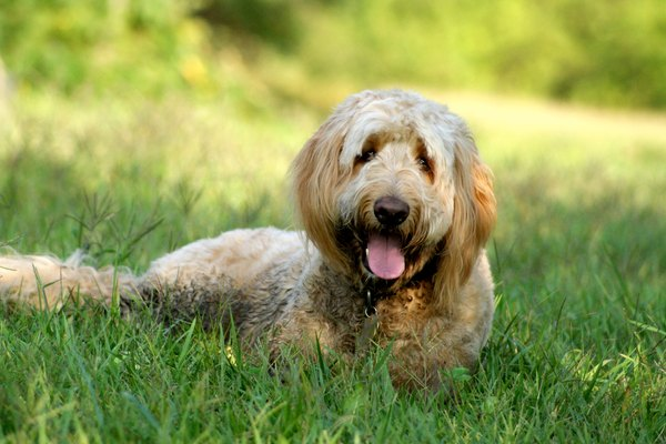 Goldendoodle Dog Lying in Grass