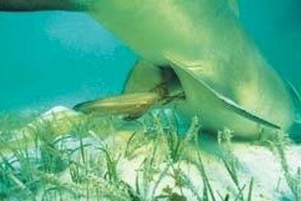 Fortpflanzung Weißer Hai