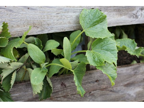 Cucumber plants will thrive in a raised bed like this one.